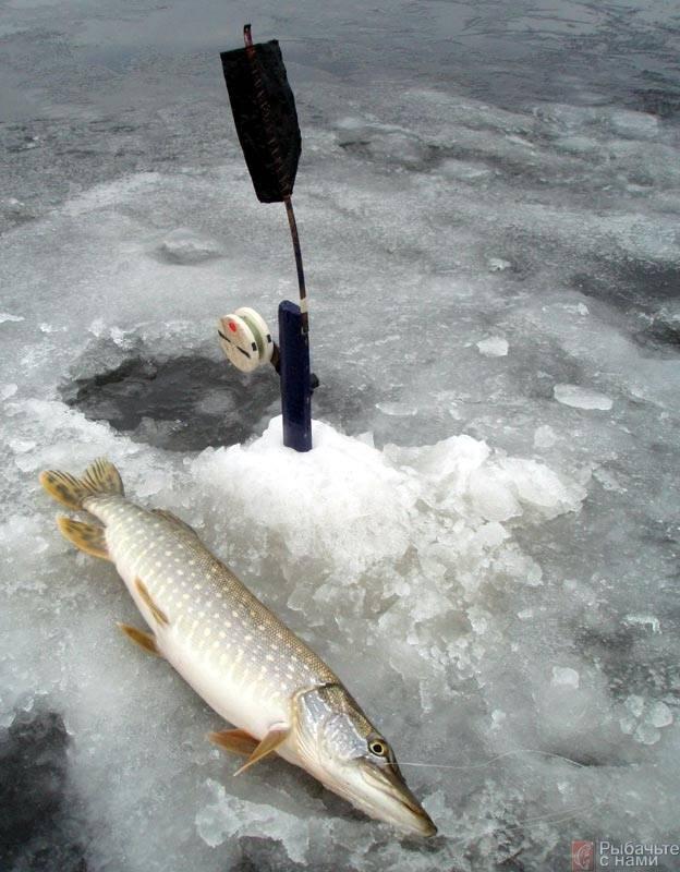 Основные моменты ловли щуки по первому льду: где, когда и на что