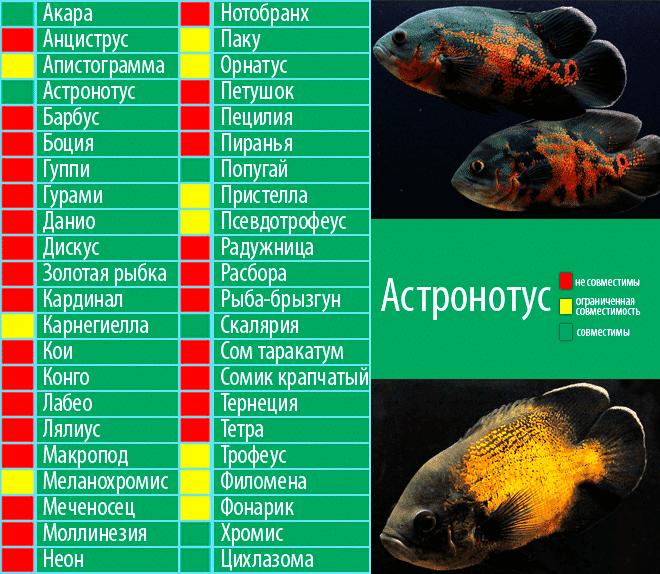 Акантофтальмус кюля (pangio kuhlii)