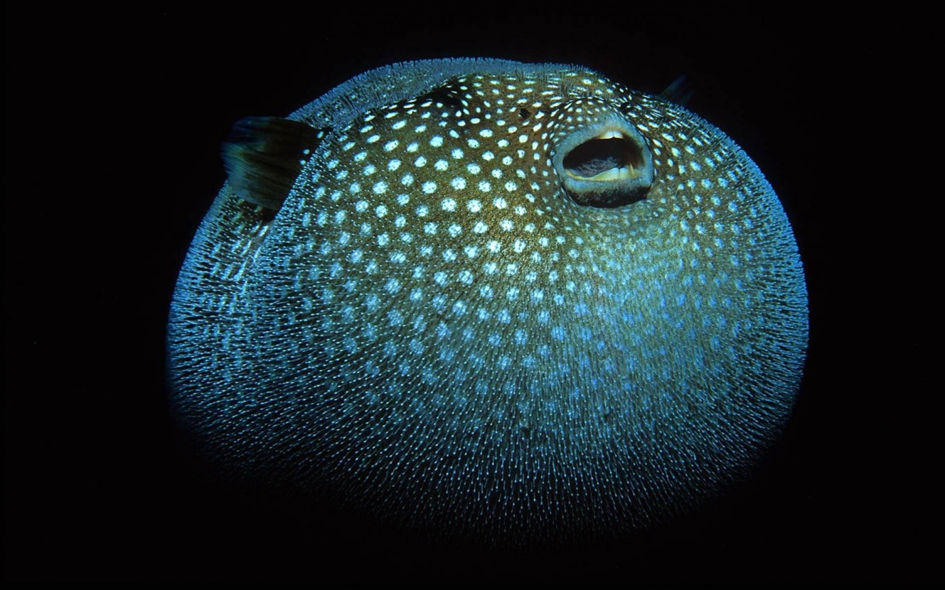 Рыба-еж: обитание, описание и образ жизни рыбки