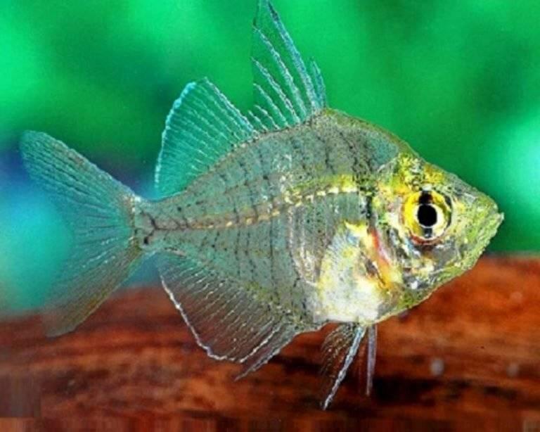 Стеклянный окунь (цветная, индийская, прозрачная, окрашенная аквариумная рыбка чанга ранга): содержание, совместимость, разведение (размножение), фото
