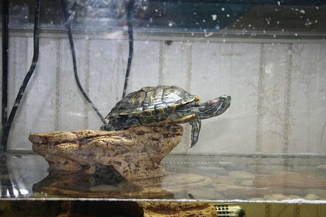 Сколько красноухая черепаха может прожить без воды и еды. продолжительность жизни. сколько может прожить без воды красноухая черепаха