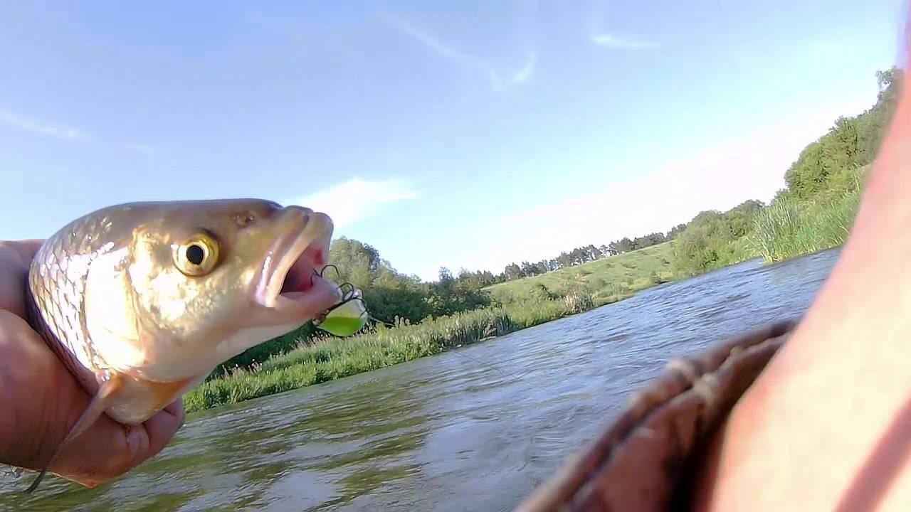 Сутулая рыба сканворд. что такое теша рыбы? это брюшки, которые можно использовать для самых разных блюд