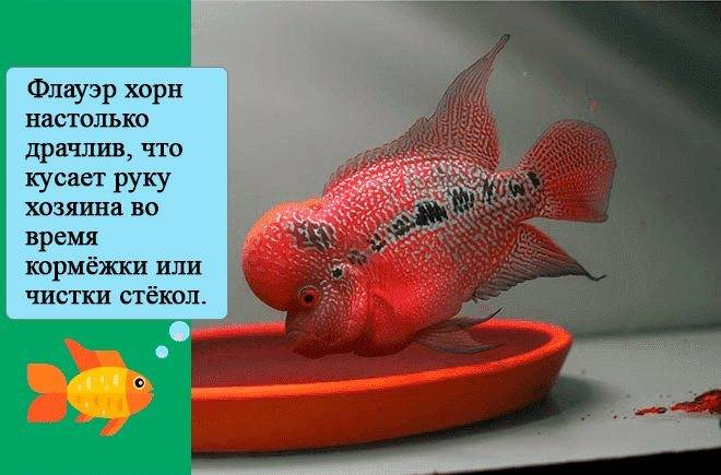 Красота аквариумной рыбы флауэр хорн, содержание и разведение