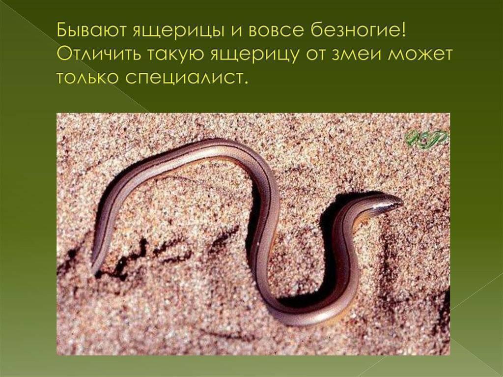 Ящерица: описание,фото,размножение,виды,питание,образ жизни | аквариумные рыбки